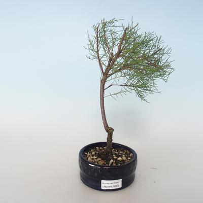Bonsai im Freien - Tamaris parviflora Kleinblättriger Tamarisk 408-VB2019-26802 - 1