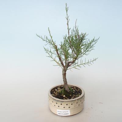 Bonsai im Freien - Tamaris parviflora Tamarisk 408-VB2019-26803, kleinblättrig - 1