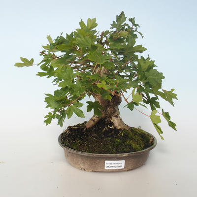 Outdoor Bonsai-Acer campestre-Ahorn Babyb 408-VB2019-26807 - 1