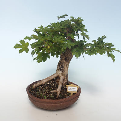 Outdoor Bonsai-Acer campestre-Ahorn Baby 408-VB2019-26808 - 1