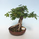 Outdoor Bonsai-Acer campestre-Ahorn Baby 408-VB2019-26808 - 1/3
