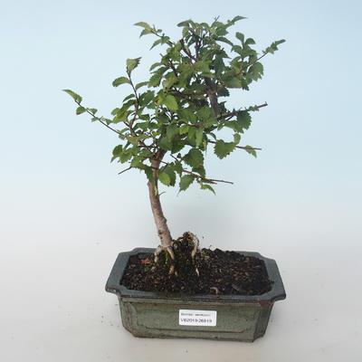 Freiland-Bonsai-Ulmus parvifolia-Kleine Blattulme 408-VB2019-26819