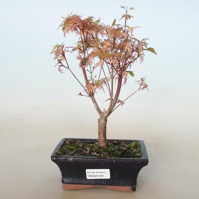 Bonsai im Freien - Acer palmatum Butterfly VB2020-693 - 1
