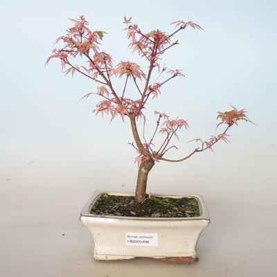 Outdoor bonsai - Acer palmatum Butterfly VB2020-698 - 1