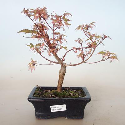 Outdoor bonsai - Acer palmatum Butterfly VB2020-701 - 1