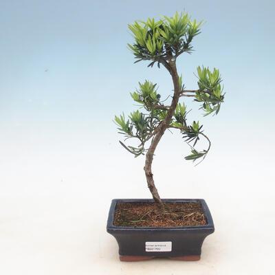 Innenbonsai - Podocarpus - Stein tausend