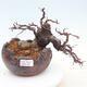 Bonsai im Freien - Pseudocydonia sinensis - Chinesische Quitte - 1/7