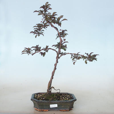 Bonsai im Freien - Prunus spinosa purpurea - Rotblättriger Schwarzdorn VB2020-765