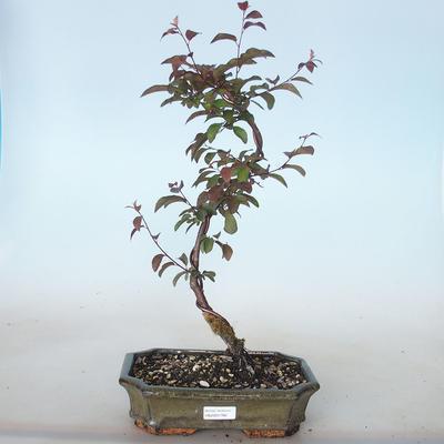 Bonsai im Freien - Prunus spinosa purpurea - Rotblättriger Schwarzdorn VB2020-766