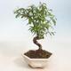 Zimmerbonsai-PUNICA granatum nana-Granatapfel - 1/3