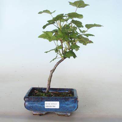Bonsai im Freien - Blut Johannisbeere - Ribes sanguneum VB2020-780 - 1