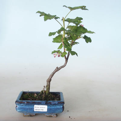 Bonsai im Freien - Blut Johannisbeere - Ribes sanguneum VB2020-784 - 1