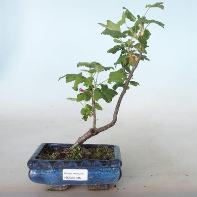 Bonsai im Freien - Blut Johannisbeere - Ribes sanguneum VB2020-786 - 1