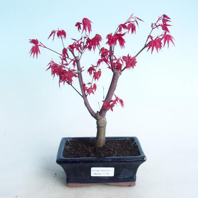 Outdoor Bonsai - Ahorn Palmatum DESHOJO - Ahorn Palmate - 1