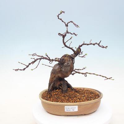 Bonsai im Freien - Pseudocydonia sinensis - Chinesische Quitte - 1