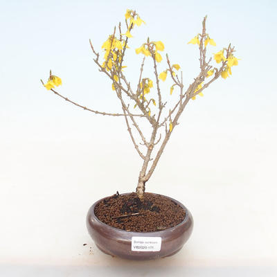Outdoor Bonsai - Zlatice - Forsythia intermedia Wochenende - 1