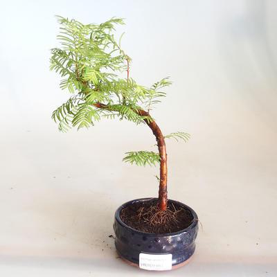 Bonsai im Freien - Metasequoia glyptostroboides - Chinesische Metasequoia VB2020-814 - 1