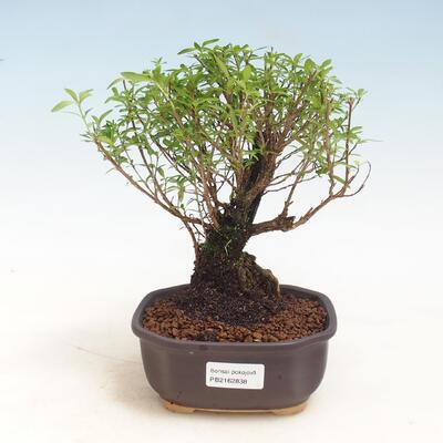 Zimmerbonsai - Serissa foetida - Baum der tausend Sterne - 1