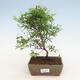 Zimmer Bonsai-PUNICA Granatum Nana-Granatapfel - 1/4