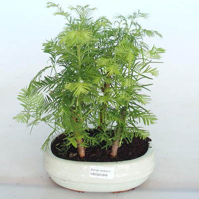 Outdoor Bonsai -Metasequoi - Chinesische Metasequoia GLOSSY - 1