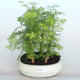 Outdoor Bonsai -Metasequoi - Chinesische Metasequoia GLOSSY - 1/3