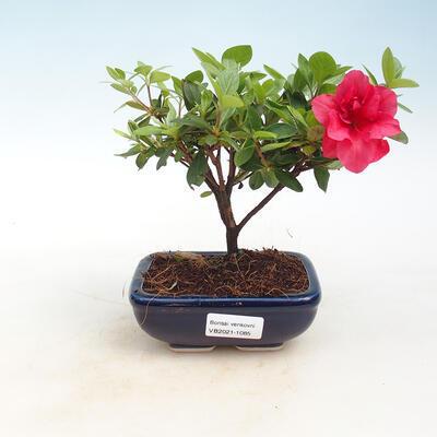 Bonsai im Freien - Rhododendron sp. - Rosa Azalee