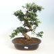 Zimmerbonsai - Syzygium - Piment - 1/3