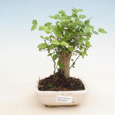 Innenbonsai -Ligustrum chinensis - Liguster - 1