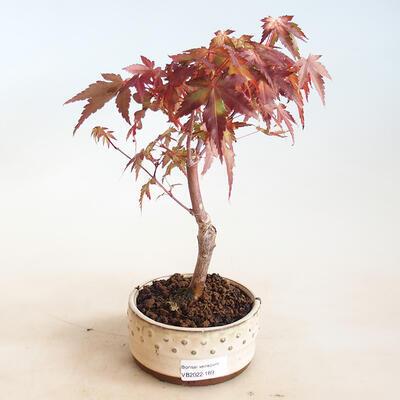 Zimmerbonsai -Ligustrum chinensis - Vogelschnabel - 1