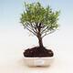 Indoor Bonsai - Syzygium - Piment - 1/4