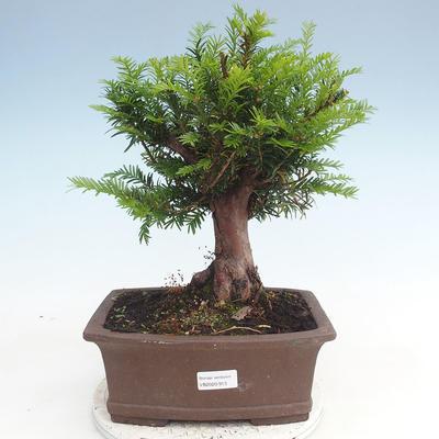 Bonsai im Freien - Taxus bacata - Rote Eibe - 1