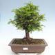 Bonsai im Freien - Taxus bacata - Rote Eibe - 1/3