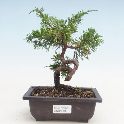 Bonsai im Freien - Juniperus chinensis Itoigawa-chinesischer Wacholder - 1