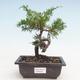 Bonsai im Freien - Juniperus chinensis Itoigawa-chinesischer Wacholder - 1/3