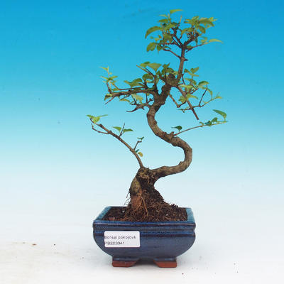 Zimmerbonsai -Ligustrum chinensis - Liguster - 1