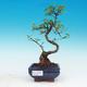 Zimmerbonsai -Ligustrum chinensis - Liguster - 1/3