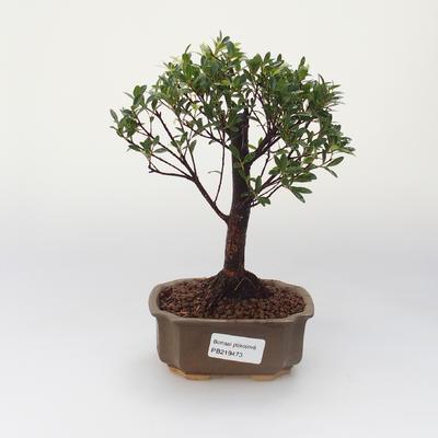 Zimmer Bonsai - Syzygium - Pimentovník - 1
