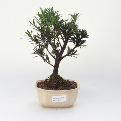 Zimmer Bonsai - Podocarpus - Stone Thousand