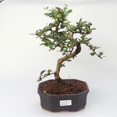 Zimmer Bonsai - Carmona macrophylla - Tea Fuki - 1