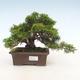 Bonsai im Freien - Juniperus chinensis Itoigawa-chinesischer Wacholder - 1/6