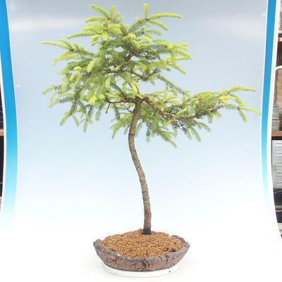Bonsai im Freien - Picea orientalis - Fichte