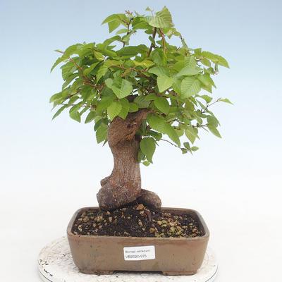 Bonsai im Freien - Carpinus CARPINOIDES - Koreanische Hainbuche - 1
