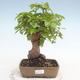 Bonsai im Freien - Carpinus CARPINOIDES - Koreanische Hainbuche - 1/5
