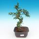 Zimmer Bonsai - Carmona macrophylla - Tea Fuki - 1/5