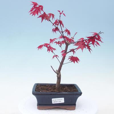 Outdoor Bonsai - Ahorn Palmatum DESHOJO - Ahorn Palme - 1