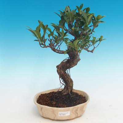 Indoor-Bonsai - Ficus retusa - kleiner Ficus - 1