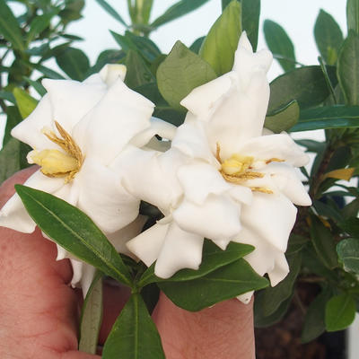 Zimmer bonsai - Gardenia jasminoides-Gardenie - 1