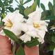 Zimmer bonsai - Gardenia jasminoides-Gardenie - 1/2