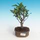 Zimmerbonsai - Ficus retusa - kleiner Ficus - 1/2
