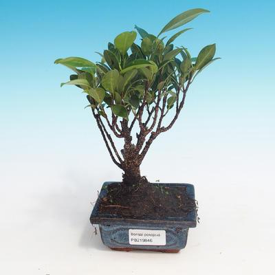 Zimmerbonsai - Ficus retusa - kleiner Ficus - 1